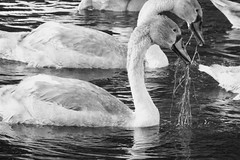 summer evening swans 02 (byronv2) Tags: kirkintilloch canal forthclydecanal marina glasgow scotland wildlife nature bird birds swan swans cygnet summer sunlight sunny sunshine blackwhite blackandwhite bw monochrome water