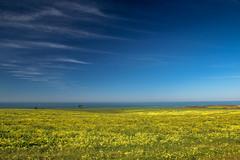Mustard bloom near Half Moon Bay (tree007) Tags: california flower mustard bloom highway1 halfmoonbay