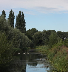 "Swans in ""de Schenk"" (minecik) Tags: swans zwanen"