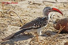 red-billed hornbill (tockus erythrorhynchus) (Colin Pacitti) Tags: redbilledhornbill tockuserythrorhynchus hornbill wildbird bird redbeak animal outdoor choberiver botswana eiap fantasticwildlife birdperfect coth5 hennysanimals sunrays5