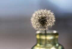 Waiting For The Wind (Captured Heart) Tags: dandelionseeds dandelion wish wishes makeawish potential softness