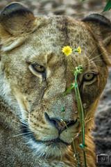 "Lwe mit ""Lwenzahn"" (carsten.nacke) Tags: cnphotosde carstennacke carsten nacke zoo zoohannover erlebniszoohannover tierpark hannover lion lwe lwenzahn"