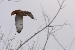 Red Tailed Hawk - Green County, WI (turn off your computer and go outside) Tags: 2016 albanywildlifearea birdsofminnesotaandwisconsin greencounty march redtailedhawk wi wisconsin barebranches baretrees bird birdofbrey clearday coldday critter earlyspring firstdayofspring hawk identified inflight nature outdoors page98 spring
