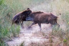 combat de btes rousse, sanglier (sus scrofa) (G.NioncelPhotographie) Tags: sanglier boar animaux mammifre nature pentax