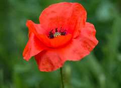 160813_07 (LoomahPix) Tags: blossom botanic botanical botany color colour d750 floral flowers kew kewgardens light outdoors outside plants wild beautiful beauty bloom flora flower garden natural outdoorphotography plant poppy red summer