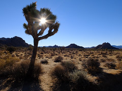 Joshua tree (Nicolas) Tags: paysage landscape ombre shadow lumire light buisson wild sauvage montagne mountain matin morning arbre tree silhouette contrejour flare joshuatree usa californie california desert nicolasthomas holidays vacances sand sable sun soleil ciel sky blue bleu hot chaud plant plante cactus