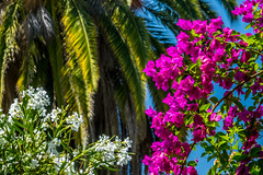 Bougainvillea, Oleander and Palm (randyherring) Tags: bloomingflower bougainvillea plant ca california oleander palm nature flower sanjose tree outdoor bloom palmfrond flora afternoon