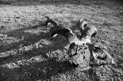 (baba_jaga) Tags: kudu death savana timbavati africa southafrica