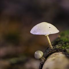 Porcelain Mushroom (Gnome Girl!) Tags: mushroom toadstool porcelainmushroom slimy shiny woods forest newforest macro bokeh england hampshire uk oudemansiella mucida