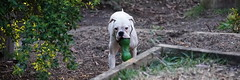 playing fetch (Blue Mtns. bush girl trying to catch up) Tags: boxer fetch