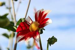 Britzer_Garten_Berlin_Dahlien-14 (Mariane Sgarbi) Tags: berlin britzergarten dahlien dalias flowers flores park garten primavera fruhling