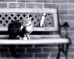 Monday Face (SpitMcGee) Tags: mondayface montagsgesicht teddy kater cat pet notmycat blackwhite gartenbank gardenbench butterfly schmetterling gartendekoration vorgarten frontyard spitmcgee explore 415