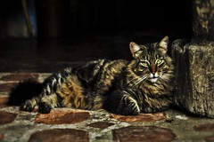 Fluffy (E.T Foto) Tags: fluffy gato gata cats cat animal anamals animales mascota mascotas pet pets care caring love rescue cuidado amor cario protect
