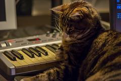 Eb half-diminished! Are you sure? (grahamrobb888) Tags: nikond800 afnikkor80200mm128ed birnam scotland music keyboard cat oscar workstation 70200mm