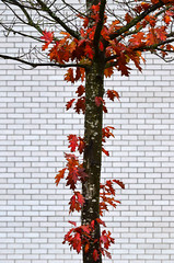 Contrasts (James_D_Images) Tags: fall oak tree leaves foliage red white brick wall trunk branches autumn