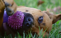 Dog Toy Bliss (sonstroem) Tags: dog dogs dogtoy grass lawn playing play pet happy fun outdoors