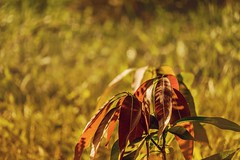 The Growing Mango Plant in Morning Light! (CuriousClickZ) Tags: growing plant morning rays sunny day mango tree leaves bokeh photography canon eos 70d lightroom flickr