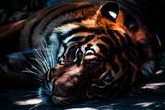Полосатая шкура тигров как наши отпечатки пальцев (Витебский Курьер) Tags: home биология животные коллекционируяинтересности мозговойшторм тигр тигровыеузоры