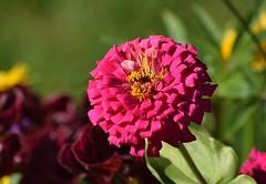 Zinnia (careth@2012) Tags: zinnia nature petals