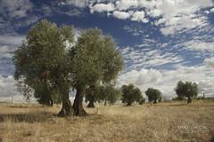 Olivo (Ignacio Campos Photographer) Tags: olivo casasbuenas ciudadreal paisaje cielo nubes