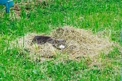 Today's Cat@2016-10-13 (masatsu) Tags: cat thebiggestgroupwithonlycats catspotting pentax mx1