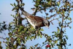 Fieldfare (NickWakeling) Tags: cleymarshes cleynextthesea cley norfolk nature northnorfolk norfolkwildlifetrust fieldfare birds thrush canon60d sigma150600mmf563dgoshsmcontemporary