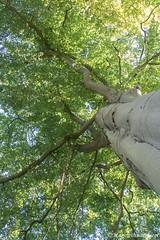 Beuk (LadyLove1967) Tags: denhaag herfst oudeikenduinen kastanjes licht boom engel