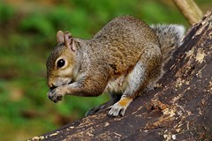 IMGP4441 Grey Squirrel, Barnwell Country Park, October 2016 (bobchappell55) Tags: mammal naturereserve wildlife wild barnwellcountrypark greysquirrel north northamptonshire