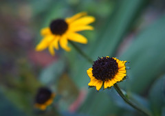 DSC04179 (Old Lenses New Camera) Tags: sony a7r kilfitt zoomar macrozoomar macro 50125mm f4 plants garden flowers blackeyedsusan autumn