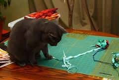 Contemplation (momcat14c) Tags: november cat newjersey chat nj kitty gato mica bluecat graycat bearcat 2014 rescuedpet bearkitty