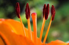 Lilium (pablocba) Tags: macro verde argentina nikon flor córdoba naranja lilium fores gineceo androceo d5100 macrodreams