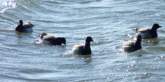 Brant in choppy waters (Dendroica cerulea) Tags: winter bird newjersey nj aves goose brant perthamboy raritanriver branta anatidae anseriformes brantabernicla raritanbay middlesexcounty neornithes anserinae neognathae galloanserae carinatae