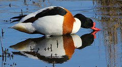 Shelduck 170215 (5) (Richard Collier) Tags: reflection birds duck wildlife naturalhistory british rspb shelduck britishbirds fantasticnature rspbreserve rspblodmore