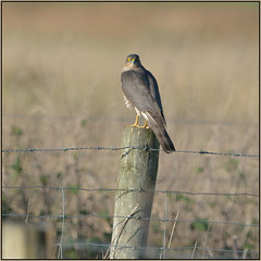 Sparrowhawk (image 2 of 3) (Full Moon Images) Tags: bird nature nt wildlife reserve national trust prey fen cambridgeshire birdofprey sparrowhawk burwell wicken