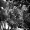 2015365_052 - Fir (Kenny Boy1) Tags: blackandwhite mono cone fir droplet 21022015