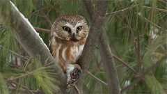 Saw-whet Owl (Raymond J Barlow) Tags: ontario canada bird wildlife raptor owl sawwhet raymondbarlow