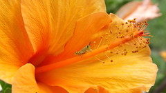 Grasshopper on orange Hibiscus (behinddreaming) Tags: orange flower green hibiscus grasshopper quintaflower sunshinecoast caboolture quennsland