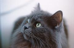Kizmo (FakE_LoL) Tags: green film cat persian lomography eyes fluffy pro epson praktica perfection birman mtl5b