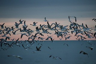 Gulls over the gulf
