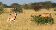 East African Oryx (Sergey Yeliseev) Tags: oryxbeisa eastafricanoryx ориксбейза