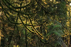 Ropes of Green (dennoit) Tags: tree green forest washington moss snoqualmiefalls snoqualmie