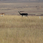 BBR-Male-Blackbuck-in-habitat