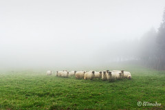 flock of sheep on foggy day (Mimadeo) Tags: morning white mist green field grass animal misty fog rural outdoors countryside sheep eating shepherd farm farming flock group foggy meadow farmland pasture lamb copyspace agriculture livestock herd basque grazing basquecountry woolly latxa