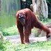 "Orangutan • <a style=""font-size:0.8em;"" href=""http://www.flickr.com/photos/128593753@N06/16349246738/"" target=""_blank"">View on Flickr</a>"