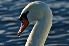 The swan (Marc Haegeman Photography) Tags: birds swans zwanen nikond750