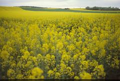 J'aurais prfr un parking (zebilibouba) Tags: blur me yellow landscape countryside fuji pentax farming xp growing mimosa fujixppentaxme