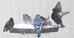 In Your Face! (Carolyn Lehrke) Tags: birds winter snow snowing feeder eating starlings bluejays woodpecker usa wv greenbriercounty redbellied ilobsterit