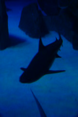 Requin pointe-noire (3) (Mhln) Tags: paris aquarium requin poisson trocadero poissons meduse 2015 cineaqua