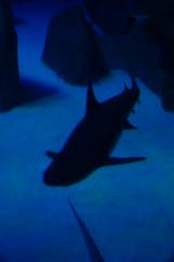 Requin pointe-noire (3) (Mhln) Tags: paris aquarium requin poisson trocadero poissons meduse 2015 cineaqua