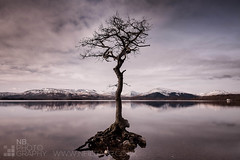 Milarrochy Bay tree (GenerationX) Tags: snow mountains tree water glass reflections mono mirror bay scotland oak rocks unitedkingdom stones scottish neil hills trossachs lochlomond barr beinneich glenluss milarrochy beinnruisg